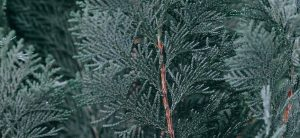 branches of green fir tree